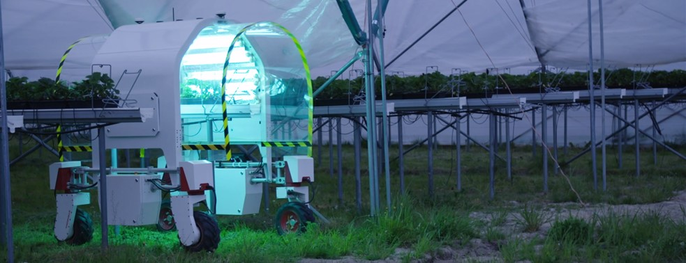 Robot with UV light treating greenhouse strawberries